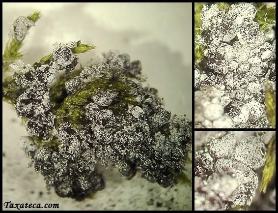 Badhamia foliicola Badhamia_foliicola