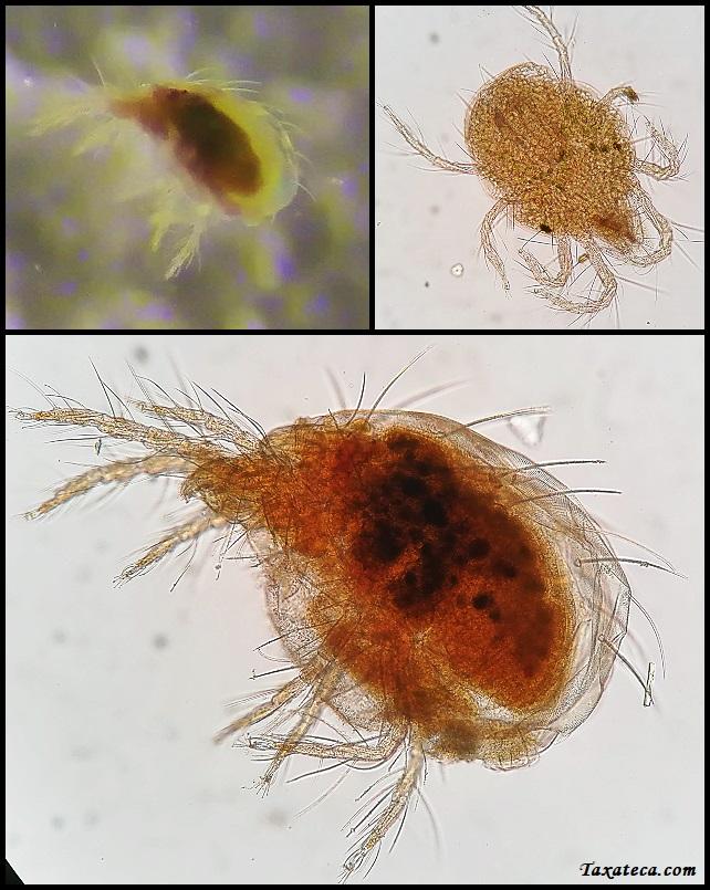 Polyphagotarsonemus latus Polyphagotarsonemus_latus