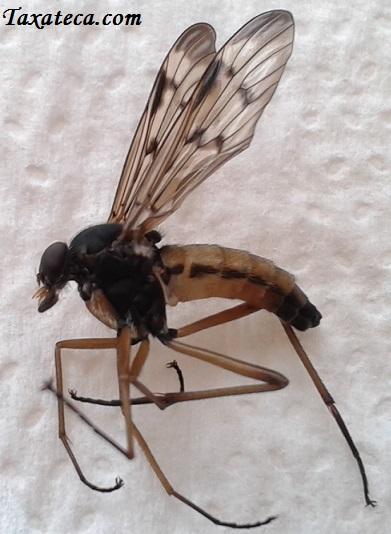 Rhagio scolopaceus Rhagio_scolopaceus