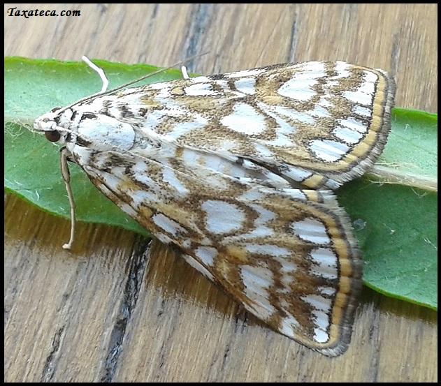Elophila nymphaeata Elophila_nymphaeata