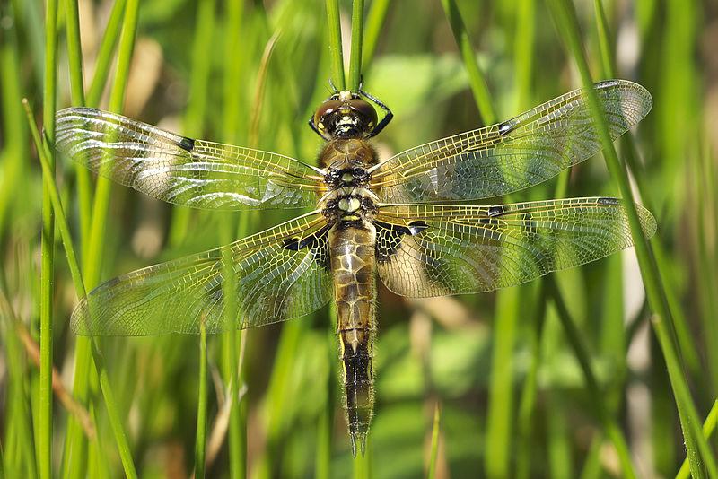 Libellula quadrimaculata Libellula_quadrimaculata