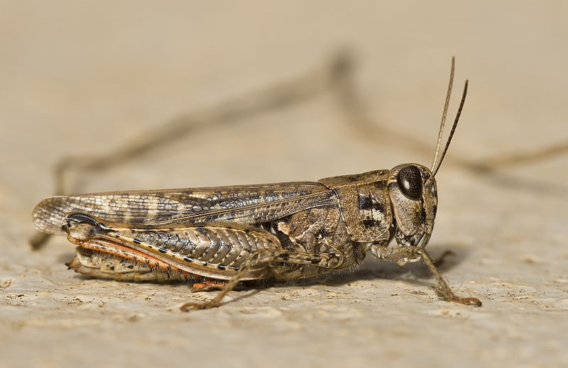 Order Orthoptera