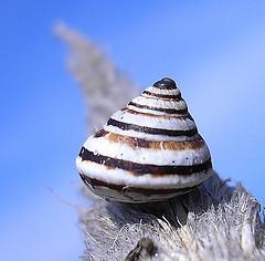 Cochlicella conoidea Cochlicella_conoidea
