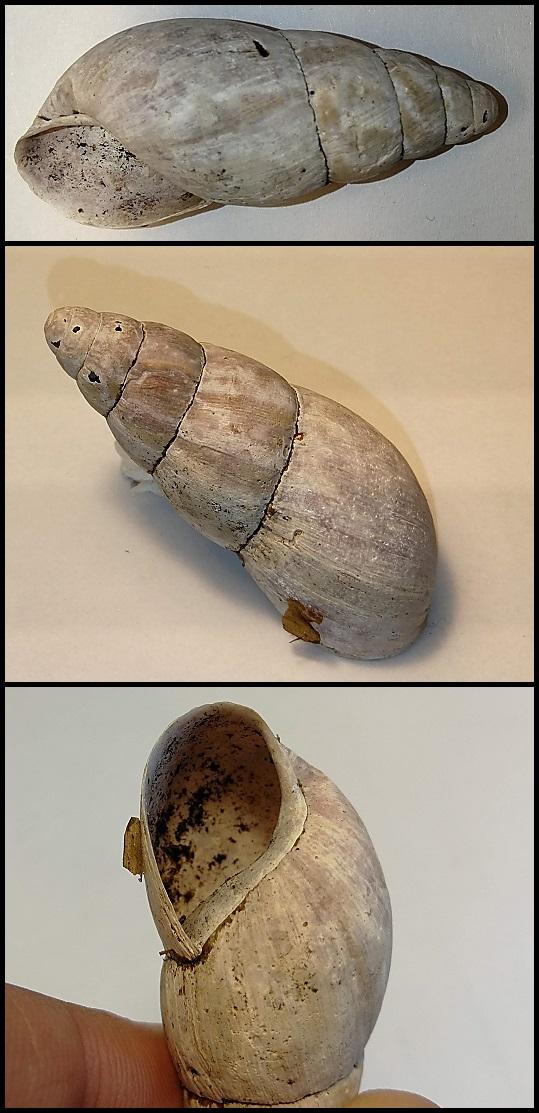 Limicolaria laikipiaensis Limicolaria_laikipiaensis