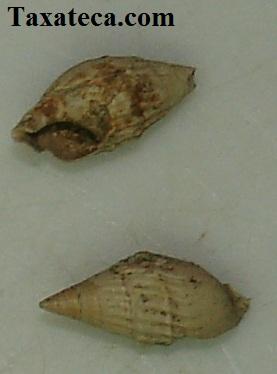 Melanopsis requenensis  Melanopsis_requenensis