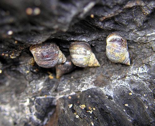 Melarhaphe neritoides  Melarhaphe_neritioides2