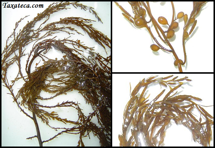Sargassum muticum Sargassum_muticum