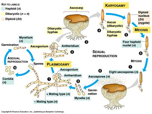 Phylum Ascomycota - 155.9KB