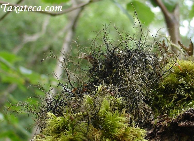 Bryoria bicolor  Bryoria_bicolor