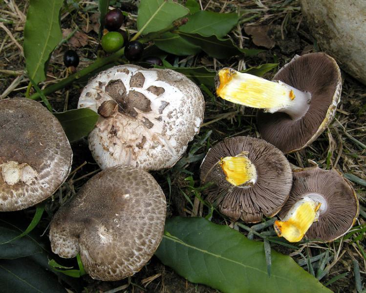 Agaricus iodosmus Agaricus_iodosmus