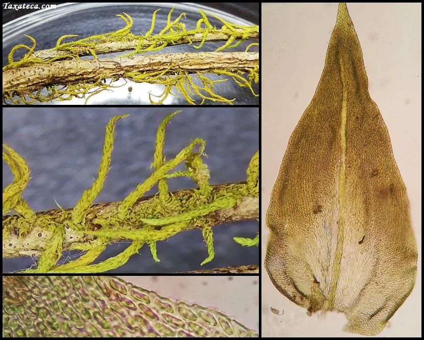 Papillaria africana Papillaria_africana