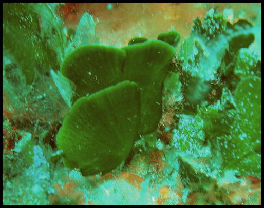 Flabellia petiolata Flabellia_petiolata