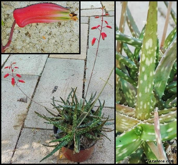 Aloe millotii Aloe_millotii