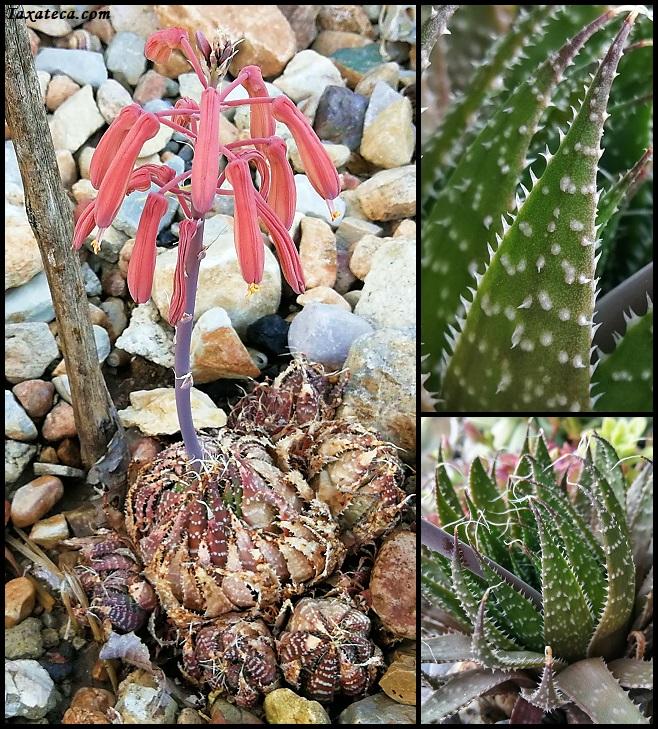 Aloe aristata Aristaloe_aristata