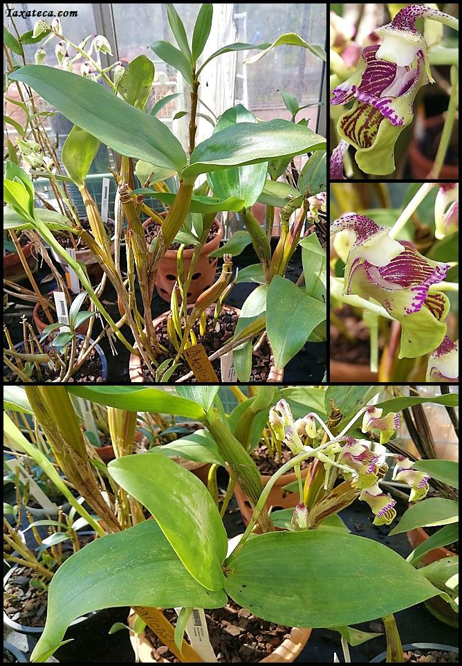 Dendrobium atroviolaceum Dendrobium_atroviolaceum