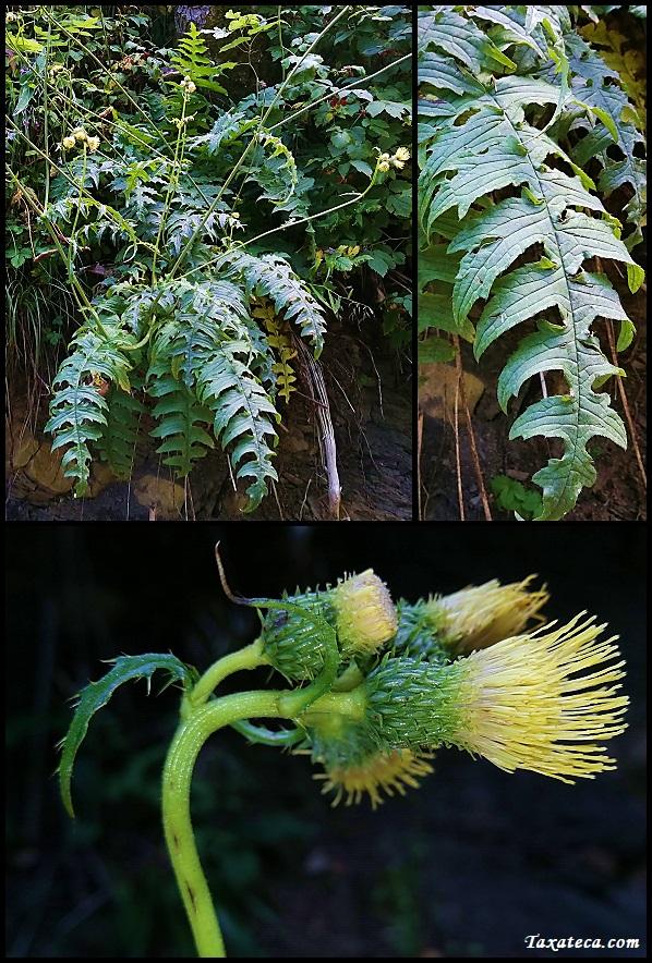 Cirsium erisithales Cirsium_erisithales