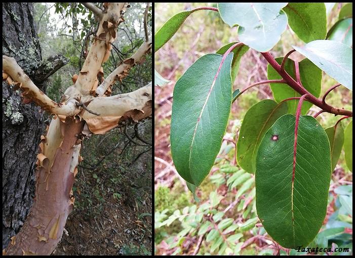 Arbutus xalapensis Arbutus_xalapensis