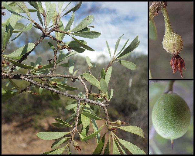 Capurodendron microphyllum Capurodendron_microphyllum2