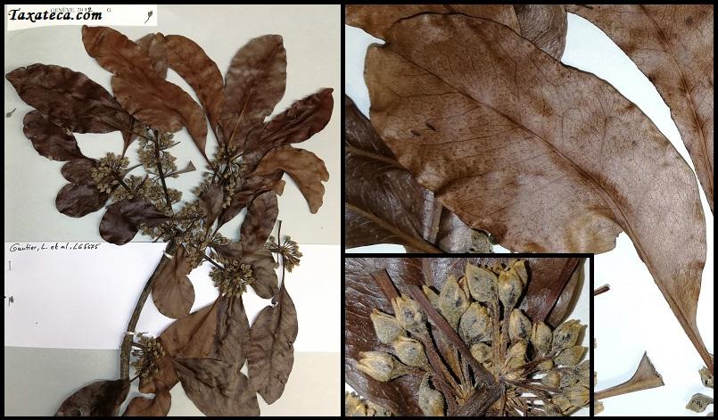 Capurodendron sakalavum  Capurodendron_sakalavum