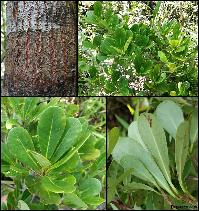 Capurodendron tampinense Capurodendron_tampinense