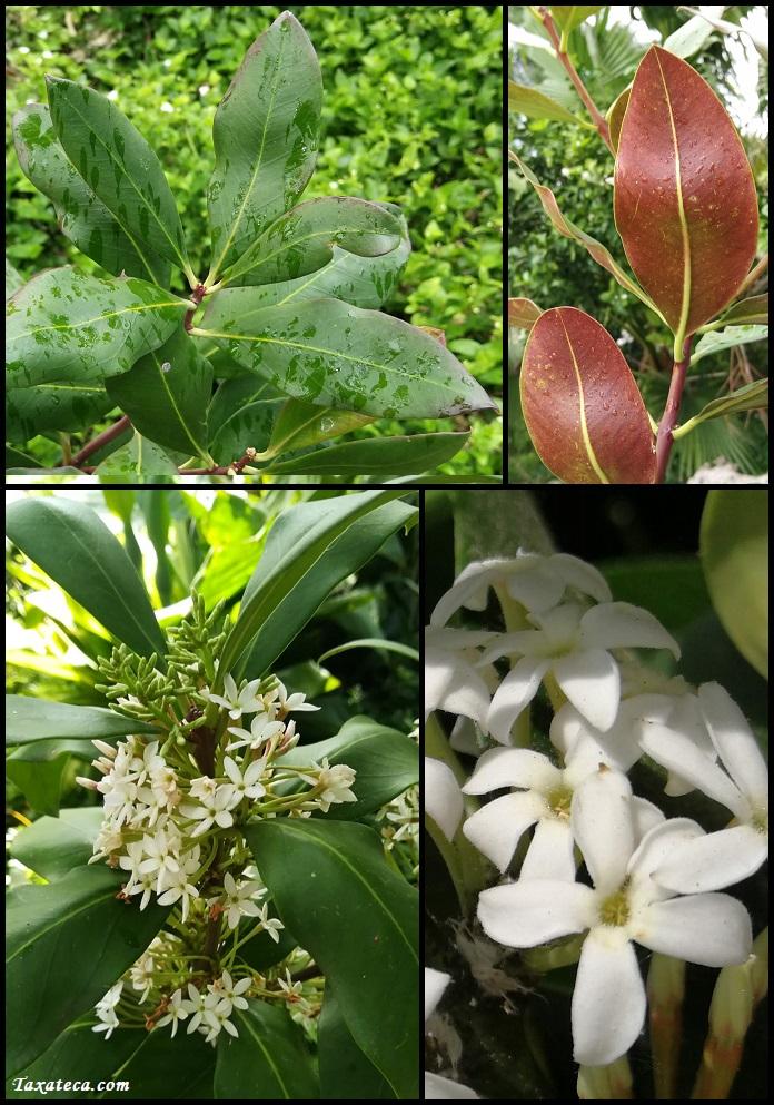 Acokanthera oblongifolia Acoknthera_oblongifolia