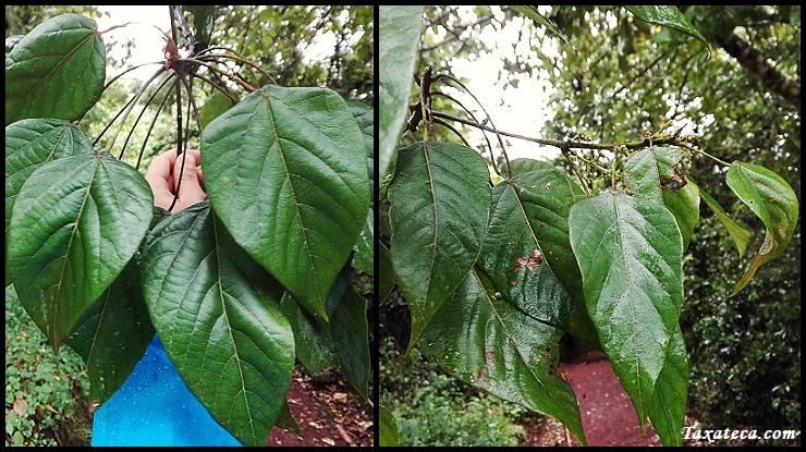 Croton macrostachyus Croton_macrostachyus