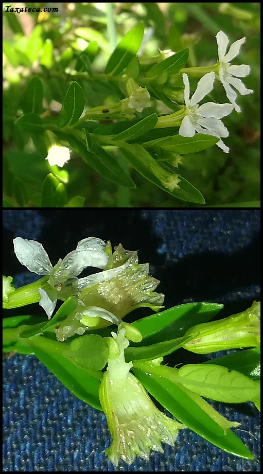 Cuphea hyssopifolia Cuphea_hyssopifolia
