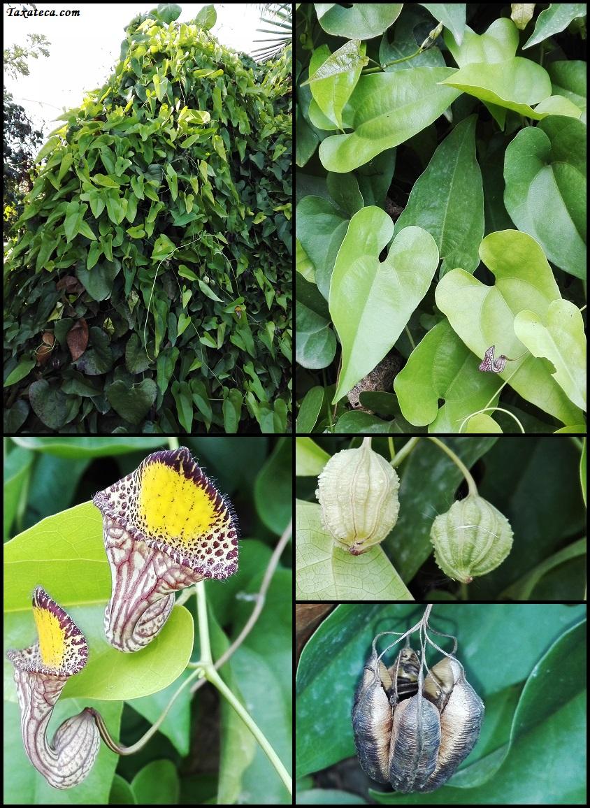 Aristolochia triangularis Aristolochia_triangularis