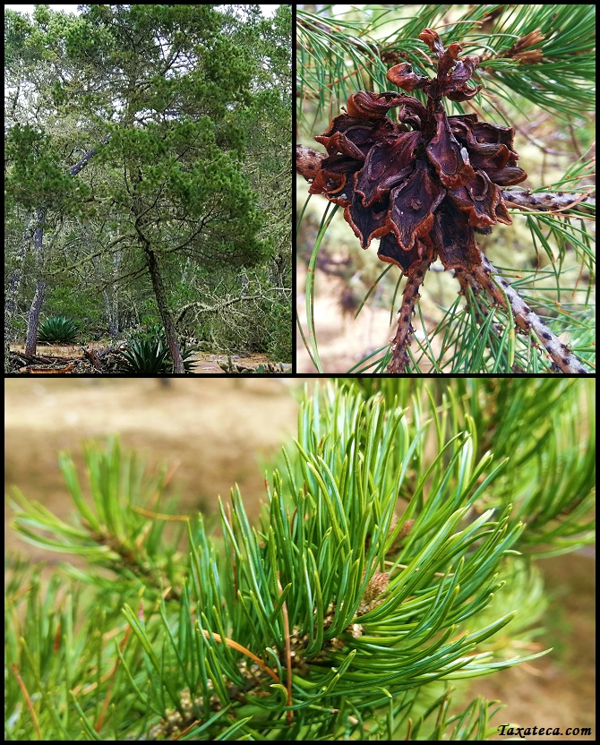Pinus cembroides Pinus_cembroides