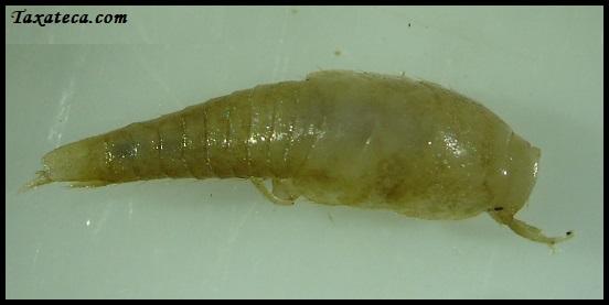 Neoasterolepisma spectabilis Neoasterolepisma_spectabilis
