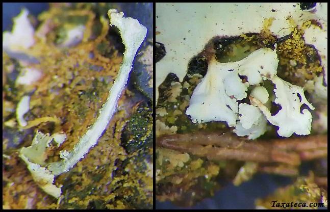 Cladonia borbonica Cladonia_borbonica