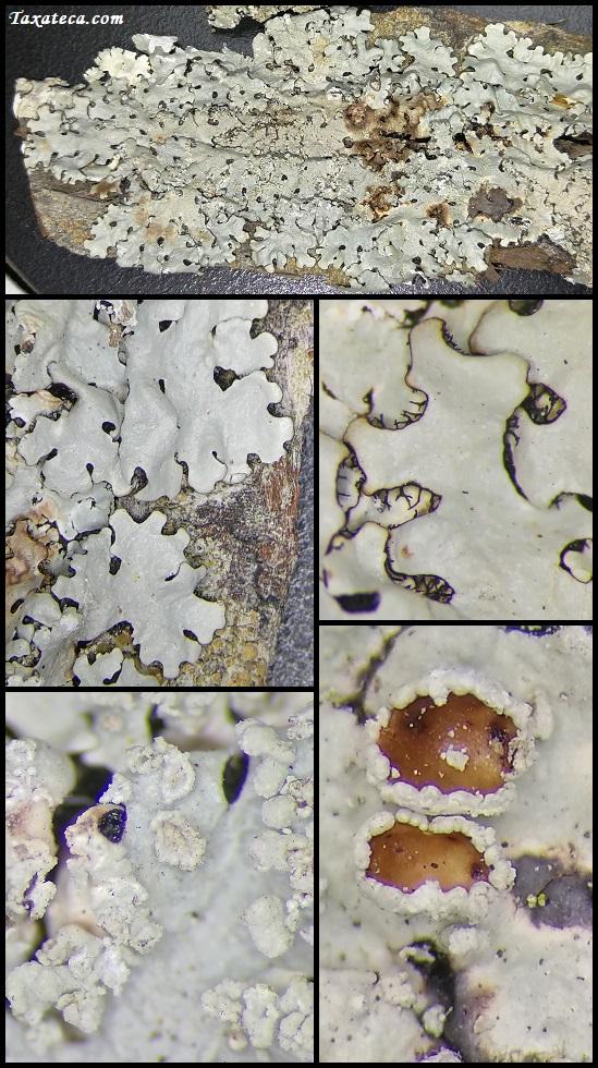 Hypotrachyna osseoalba Hypotrachyna_osseoalba2
