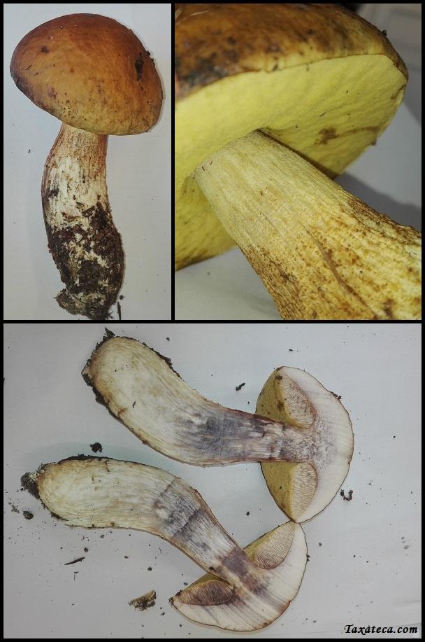 Leccinellum lepidum Leccinellum_lepidum